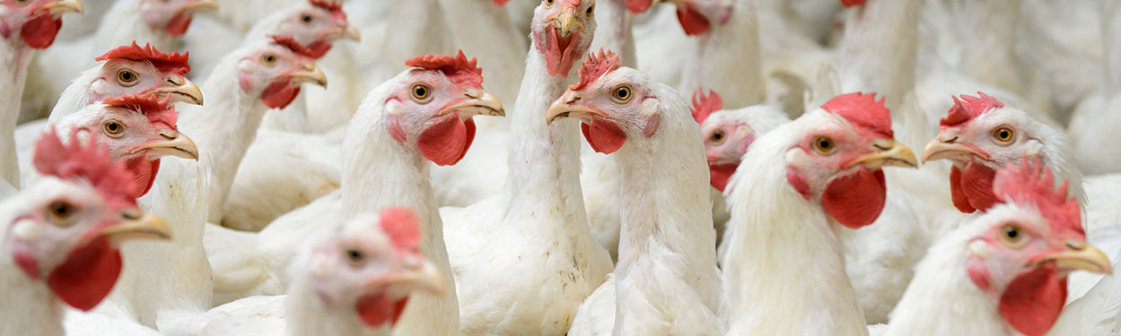 Role of Biotechnology in Animal Nutrition